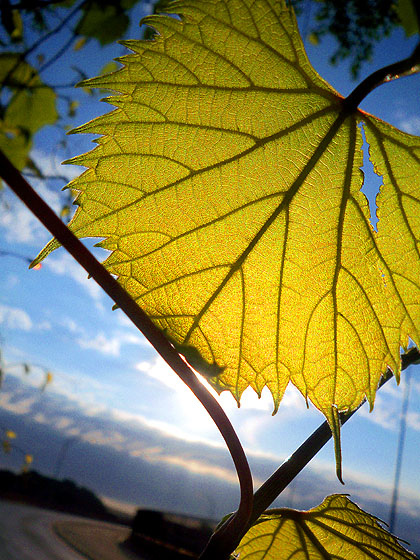 Leaf Rise - Smith